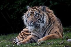 Sumatra-Tiger (Matthes S.) Tags: arnhem burgerszoo canon7dmarkii groskatze natur pantheratigrissumatrae raubkatze raubtier sigma150600mm1563dgsports sumatratiger sumatrantiger tier zoo