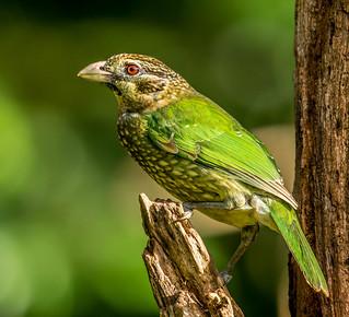Spotted Catbird (Ailuroedus melanotis), Atherton Tablelands, Queensland, Australia