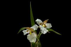 Odontoglossum Rossii (Photator) Tags: orchid odontoglossum rossii leitz summaron 35mm leica flower botany leicasummaron35mmf35