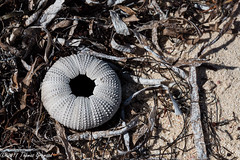 Remains of an Urchin (Thomas Gremaud) Tags: sand seaweed urchin beach grandturk white w shell