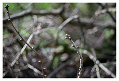 Buds (leo.roos) Tags: buds knoppen takken branches a7 zeissikonvariotalonmc7012035 talon projectorlens projectionlens darosa leoroos