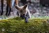 20170402-Mähnenwolf, Tiergarten Nürnberg-028.jpg (serpentes80) Tags: mähnenwolf tiere tiergartennürnberg