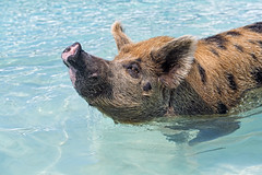The other big sow (Tambako the Jaguar) Tags: above big saw female swimming portrait pig exuma cay cute sea beach bahamas island vacation nikon d5