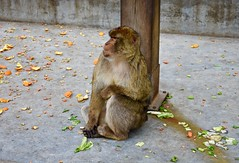 Tough life for the Barbary Macaque (nicvictor) Tags: barbaryape naturereserve wildlife gibraltar monkey
