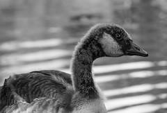 Gosling (n.clamp) Tags: park baby bird pond beak aves goose chick gosling avian
