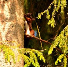 Eichhrnchen (kaaasch) Tags: tree nature animal forest germany deutschland essen nikon squirrel natur nikkor wald ba
