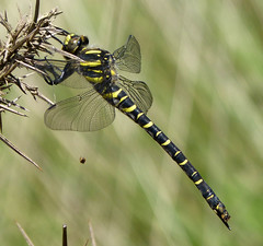 The Golden-ringed Dragonfly, Cordulegaster boltonii (gailhampshire) Tags: cordulegasterboltonii thegoldenringeddragonfly taxonomy:binomial=cordulegaterbiltonii