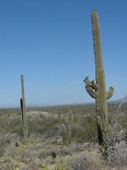 Saguaro #23 (jb10okie) Tags: park travel vacation arizona usa america spring nps trails saguaro nationalparks saguaronationalpark 2013 eastdistrict