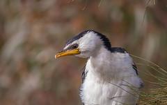 little pied cormorant  (Microcarbo melanoleucos)-4334 (rawshorty) Tags: birds australia canberra act jerrabomberrawetlands rawshorty
