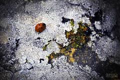 LadyBird (Clipioola ) Tags: naturaleza nature stone ladybug lichen liquen piedra mariquita