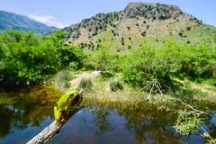 European Green Tree Frog (Hyla arborea cretensis) (John P Clare) Tags: male green pond greece crete habitat hylaarborea europeangreentreefrog cretantreefrog hylaarboreacretensis