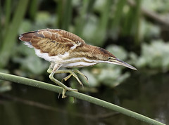 Young Least Bittern ( Getting a Leg Up on Things ) ( Explored on 6-8-2014 - # 353 ) (billkominsky ) Tags: avianexcellence