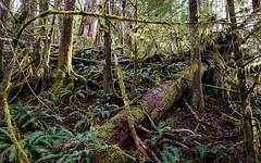 Temperate Rainforest (Sean Maynard) Tags: canada tree nature moss rainforest britishcolumbia vancouverisland cowichan temperaterainforest transcanadatrail