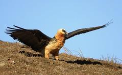 Bearded Vulture (Gypaetus barbatus) (Ian N. White) Tags: southafrica drakensburg lammergeier beardedvulture gypaetusbarbatus