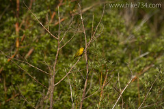 "Yellow Warbler • <a style=""font-size:0.8em;"" href=""http://www.flickr.com/photos/63501323@N07/14428043475/"" target=""_blank"">View on Flickr</a>"