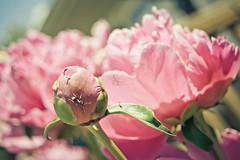 Summer Bugs (corinne.schwarz) Tags: pink summer house flower detail bug warm pretty ant peonies