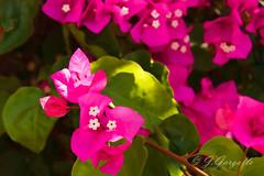 Buganvilla (J.Gargallo) Tags: espaa flores canon eos plantas colores castelln comunidadvalenciana eos450d canon450d canonefs18200