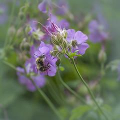 Mr Bumble (pollylew) Tags: flower flora bee bumblebee cranesbill hardygeranium geraniumcantabrigiense