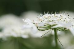 Umbellifer (Claire Wroe) Tags: wild white plant flower green nature manchester countryside stem dof bokeh petal valley carrot chorlton stalk mersey umbellifer umbelliferous