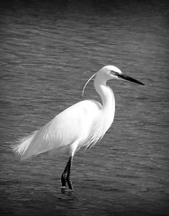 Little Egret (Tom Kennedy1) Tags: egret littleegret egrettagarzetta irishwildlife