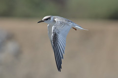 Fledgling, Least Tern at Bolsa Chica wetlands, CA (OC Hiker) Tags: california birds orangecounty leasttern sternaantillarum bolsachicawetlands afsdxnikkor55300mmf4556gedvr nikond5100  07032014