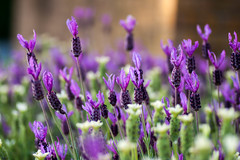 french lavender [explored] (carol_malky) Tags: flowers white french pretty purple bokeh lavender explored