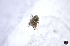 "Jumping spider • <a style=""font-size:0.8em;"" href=""https://www.flickr.com/photos/36649847@N05/14608157247/"" target=""_blank"">View on Flickr</a>"