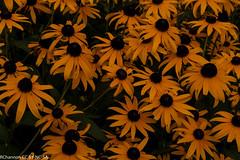 black eyed susan, myGreenbelt, rudbeckia fulgida, jdy213 XX201008014428.jpg (rachelgreenbelt) Tags: usa maryland northamerica greenbelt americas asteraceae blackeyedsusan asters midatlantic floweringplants daisyfamily familyasteraceae asterfamily compositefamily rudbeckiafulgida asterales dicots heliantheae eudicots sunflowerfamily asteroideae orderasterales asterids asteraceaefamily dicotyledons divisionmagnoliophyta tribeheliantheae midatlanticregion compositaefamily subfamilyasteroideae asteralesorder heliantheaetribe asteroideaesubfamily helianthodae helianthodaesupertribe supertribehelianthodae asteridsclade