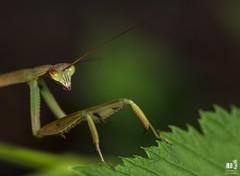 praying mantis (markmartucciphoto) Tags: summer macro bug mantis praying markmartucciphotography bugtography