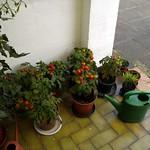 some-ripe-tomatos thumbnail