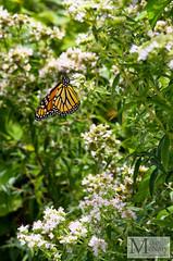 Butterfly (mikemcnary) Tags: green butterfly orange summer insect wing flower lexington kentucky arboretum digital