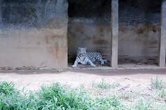 White Tiger (Achala Photography) Tags: animal 動物 동물 动物 achala حيوان rajapaksha haiwan животное สัตว์ விலங்கு पशु পশু සත්තු