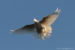 Duiven - Pigeon Flying (6) (Hans V.B) Tags: sky white pigeon belgi wit gent vogel duif tortelduif