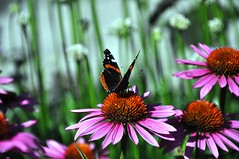 in a garden in the sun (christiaan_25) Tags: pink light summer flower green colors sunshine butterfly garden insect redadmiral explore coneflower 39 vanessaatalanta echinaceapallida jul292014