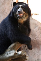 Andean bear - Turbo - who me? (Pix.by.PegiSue>Thx over 4M+ views! Click on Albums) Tags: california africa bear wild baby brown cute nature animal animals canon zoo oso flickr sandiego wildlife bears safari wap endangered paws wildanimalpark sandiegozoo animalplanet andean br spectacled escondido nationalgeographic ours nonprofit babyanimals sdzoo ursidae carnivorans  sandiegozoosafaripark sdzsafaripark californiababyanimals sdzooorg pixbypegisue zooglobal wwwflickrcomphotospixbypegisue