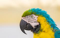 Parrot - Pagagei (Felix Schürmeyer | Fotografie | PicturePS98) Tags: tiere parrot orte grece papagai ierapetra