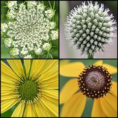 Community Prairie (ioensis) Tags: county flowers wild macro community lace july iowa queen master ia coneflower prairie rattlesnake annes decorah 2014 jdl winneshiek ioensis grayhead