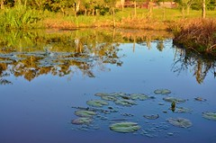 Water & Colors (Rodrigo Borato) Tags: blue orange lake verde green water azul brasil lago pond lily interior country laranja lagoa santo nymphaea espirito roa fundo ninfeia