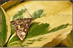 Motvlinder / Moth. (Joop Rensema.) Tags: macro netherlands sony moth nederland groningen tamron tamron90mm a230 hoornsemeer tamronspaf90mmf28di macrolife motvlinder sonydslra230 sonya230