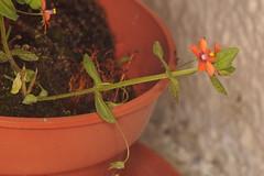8-16-14 Scarlet Pimpernel Anagallis arvensis, (2) (Ben Grader) Tags: england plant flower macro closeup leaf stem weed view sony picture seed somerset scene tamron stalk wessex anagallisarvensis scarletpimpernel dioptre dioptres slta77