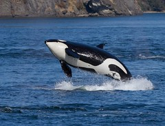 Breach 3 (shashin62) Tags: ocean fish canada water vancouver dolphin whale whales orca breaching orcas whalewatching breach