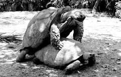 Couple Turtles (copito_m) Tags: bw naturaleza white black color blancoynegro blanco nature animal nikon negro animales mywinners abigfave aplusphoto flickraward uniqueaward bwblackandwhiteblackwhiteblackwhiteblackwhitephotos