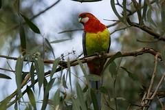Eastern Rosella (Derek Midgley) Tags: bird parrot eastern rosella platycercuseximius wantirnasouth dsc1661