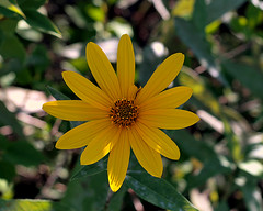 0008269 (To all that visit, Thank you) Tags: canada flower yellow garden nb daisy mygarden ©allrightsreserved nbphoto