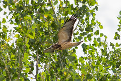 Swainson's Hawk landing sequence (1 of 3)