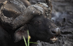 Wanna Join ... ? (AnyMotion) Tags: africa travel portrait nature animal animals southafrica tiere reisen mud wildlife porträt afrika schlamm 2014 mudbath synceruscaffer africanbuffalo anymotion schlammbad canoneos5dmarkii afrikanischerbüffel 5d2 karongwegamereserve
