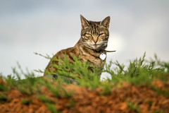 Next Doors Cat - Explored September 1st 2014 (Rob Jennings2) Tags: cat feline smug bracknell