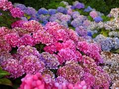 Hydrangeas At The Empress (kfopsen) Tags: flowers plant canada britishcolumbia victoria vancouverisland hydrangea theempresshotel