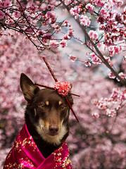Blossom Time (aussiegall) Tags: dog garden asian spring blossom geisha chopsticks kelpie rescuedog kimino