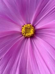 Wild flower (sjepwa) Tags: pink flower macro yellow perspective geel roze paars iphone kleur kleuren oldambt perspectief iphoneography iphone6